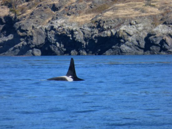 Port Townsend, Etat de Washington : Orca