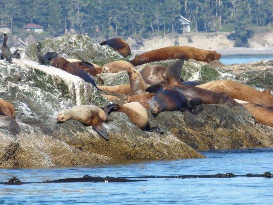 Port Townsend, Вашингтон: Sea Lions in the San Juan Islands