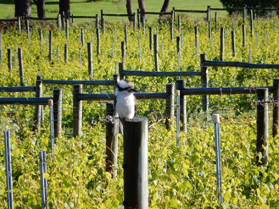Cambridge, Australia: Kookaburra keeps guard on the vineyard