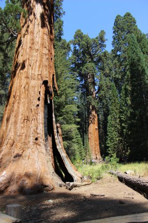 Three Rivers, CA: Giant Sequoia
