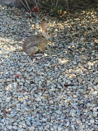 JW Marriott Scottsdale Camelback Inn Resort & Spa: View from our casita and a bunny crossing my path