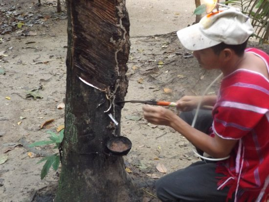 Chalong, Thailand: Harvesting rubber from a rubber tree