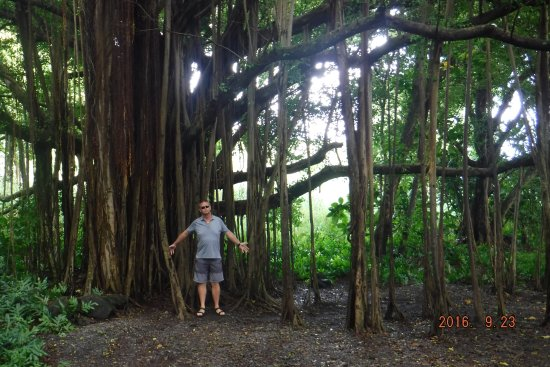 Ohe'o Gulch: Banyan Tree you come across on your way to the falls