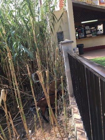 Козы за забором, рядом бар
