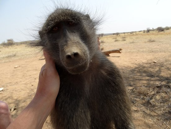 N/a'an ku se Lodge and Wildlife Sanctuary: baboon