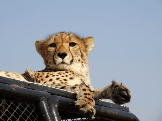N/a'an ku se Lodge and Wildlife Sanctuary: cheetah