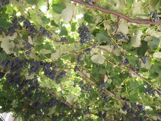 Цафферана-Этнеа, Италия: Vines with grapes at the honey shop entrance
