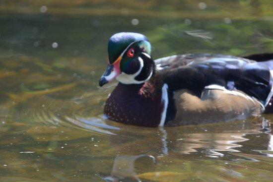 Burnaby, Canada: Male wood duck