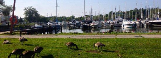 Oshawa, Canada: Canada Geese roam Newcastle Marina.