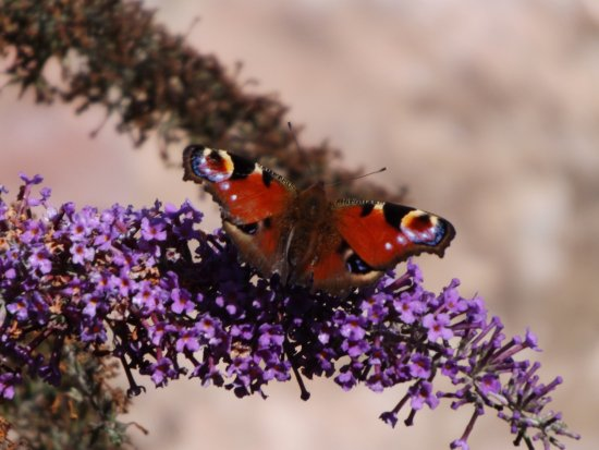 Longniddry, UK: Butterfly Bush