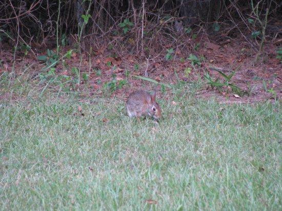 Morrilton, AR: bunny!