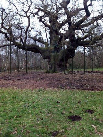 Nottinghamshire, UK: El árbol de reuniones de Robin y sus secuaces.
