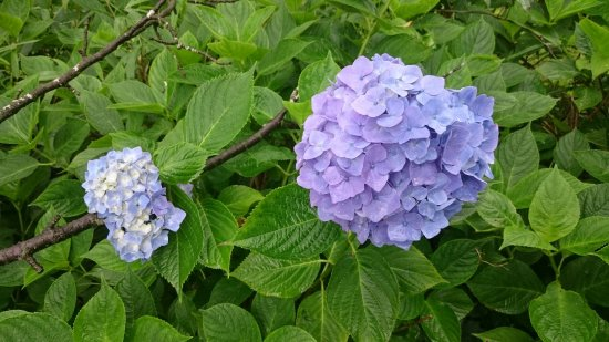 Osaki, Japón: 紫陽花ロード