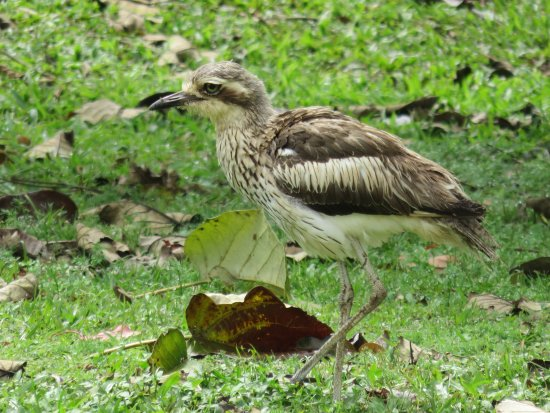 Malanda, Australia: Curlew (one of a number) at Nerada