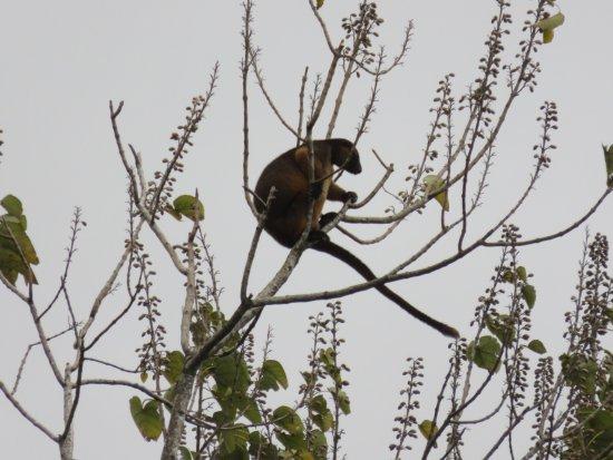 Malanda, Australia: Lumholtz tree kangaroo at Nerada