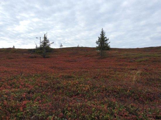 Galtis: Ripbärsbuskfält