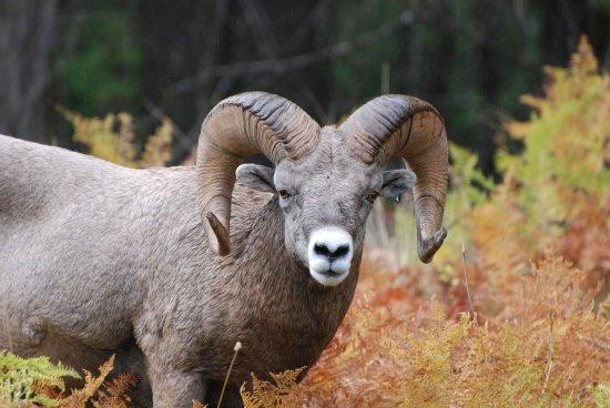 Libby, MT: Bighorn Sheep near the B&B.
