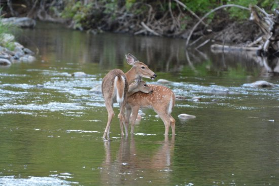 Libby, MT: Whitetail doe and fawn standing in the creek behind the B&B.