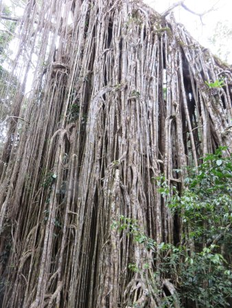 Yungaburra, Australie : The fig tree up close and personal
