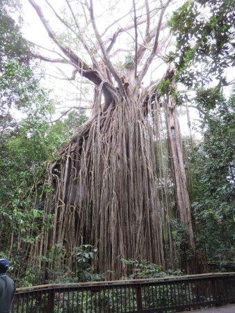 Yungaburra, Australia: The fig tree