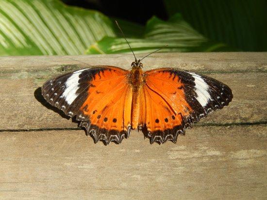 كوراندا, أستراليا: Orange Lacewing butterfly
