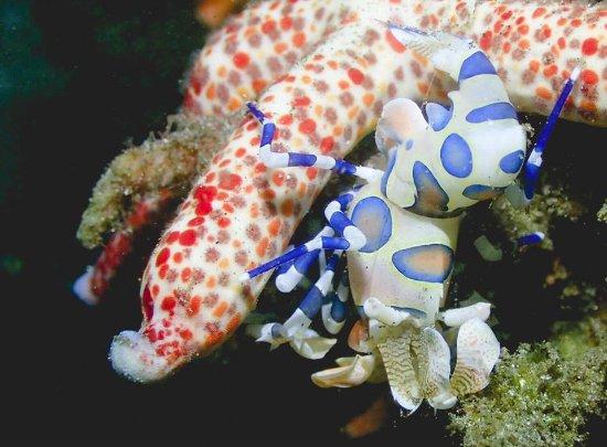 Padangbai, Indonesien: Harlequin shrimp @ Jepun