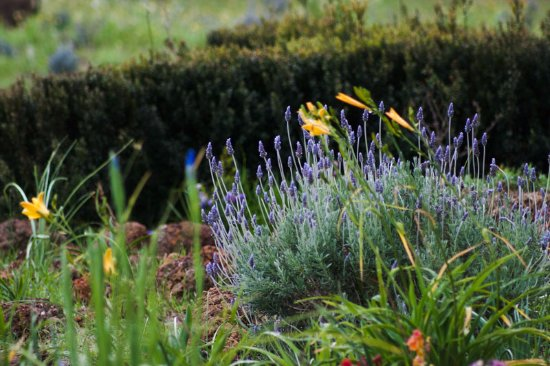 Nannup, أستراليا: lavender