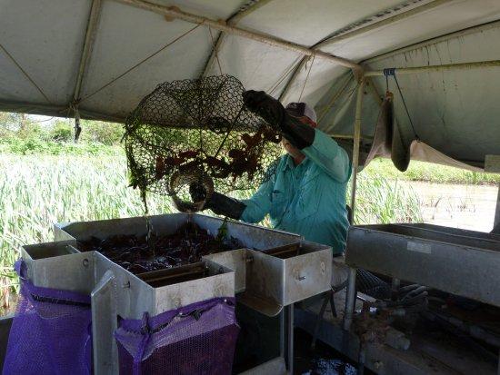 Kaplan, LA: Captain Barry emptying a crawfish trap