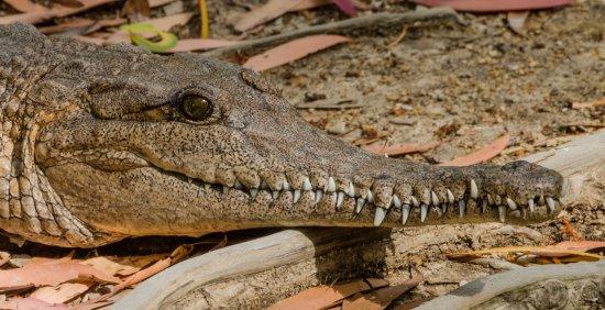 Palm Cove, Australia: Crocodile d'eau douce