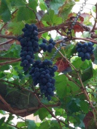 Taverna Avli: Виноград в таверне.