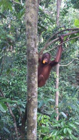 Sepilok, Malesia: gli oranghi