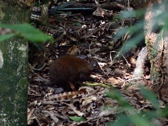 Yungaburra, Australien: local fauna
