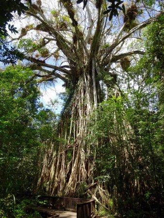 Yungaburra, ออสเตรเลีย: amazing tree