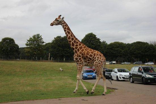 Woburn, UK: Giraffe