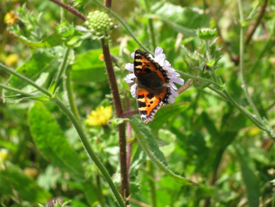 Tring, UK: local butterfly