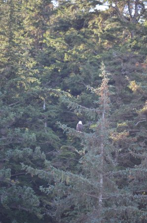 Harv and Marv's Outback Alaska: One of the eagles we saw.