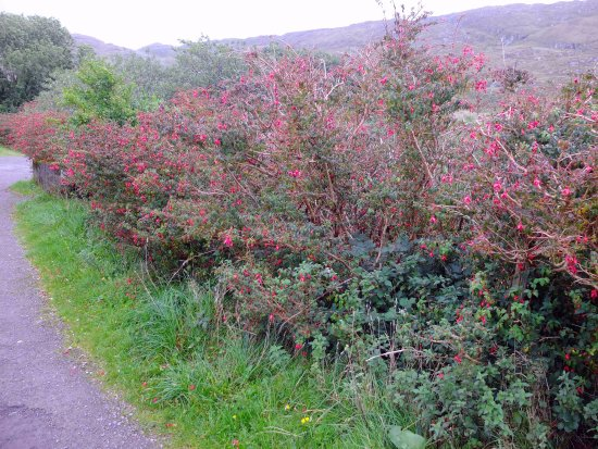 Sneem, Irlanda: Fuschias growing wild at Staigue Fort