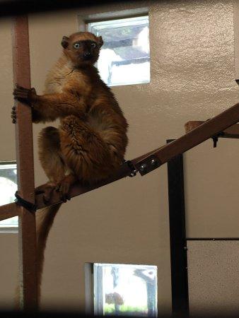 Durham, NC: Blue-eyed black lemur (only males are black)