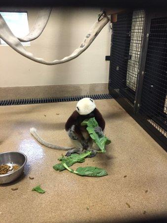 Durham, NC: Sifaka eating leaves