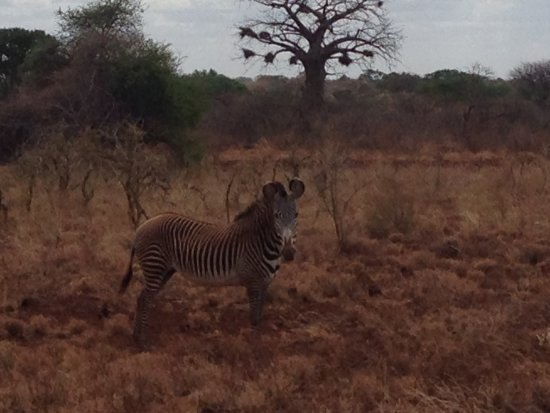 Meru National Park, Kenya: Grevy's Zebra (after a roll in the dirt)