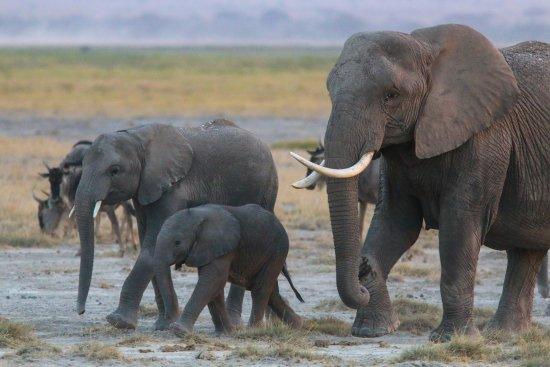 Ol Tukai Lodge: Elephants of Amboseli