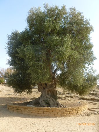 Valley of the Temples (Valle dei Templi): this tree is 600 years old...if it could only speak