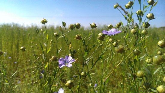 Quiberville, فرنسا: Les champs de Lin en fleur au mois de juin