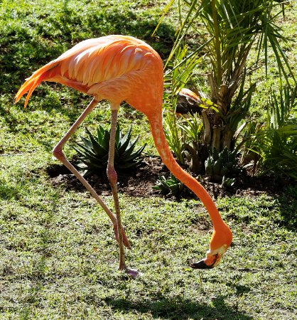 The Crags, Sydafrika: From Ethiopia, a Flamingo.