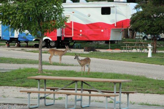 Medina, เท็กซัส: Herd of Deer walking around campground