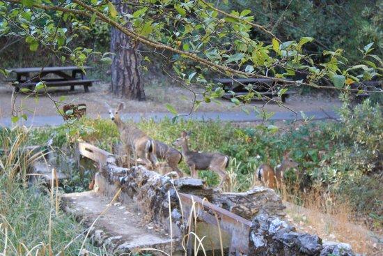 Placerville, Καλιφόρνια: Deer