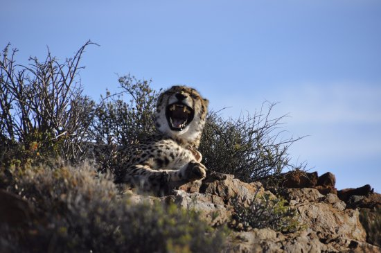 Sanbona Wildlife Reserve - Tilney Manor, Dwyka Tented Lodge, Gondwana Lodge: The cheetah on the hill - yawning not snarling!
