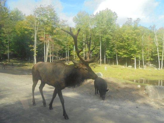 Montebello, Καναδάς: Orignal male