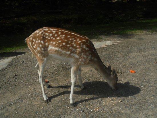 Montebello, Καναδάς: bambie