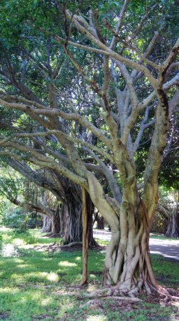 TREES ALIGNED ON THE ROAD TO HOBE SOUND